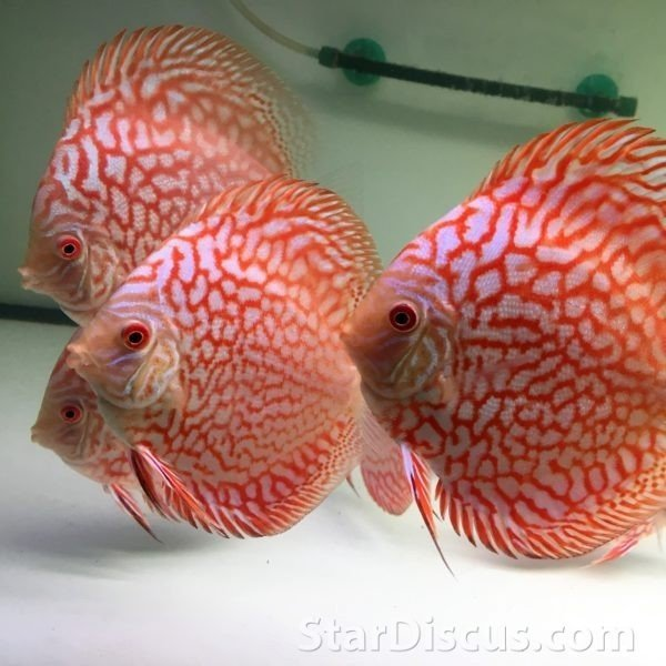 Discus Red Map
