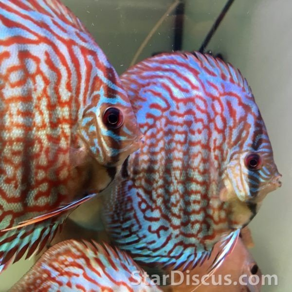 Discus Turquoise High Body