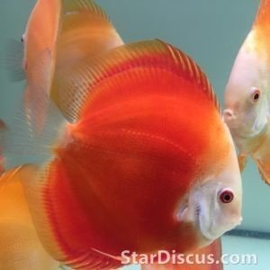 Discus Royal Ruby Red