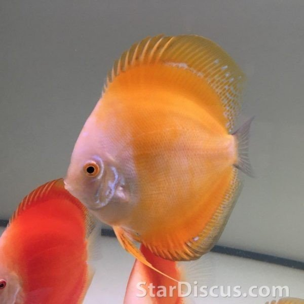 Discus Yellow Lemon