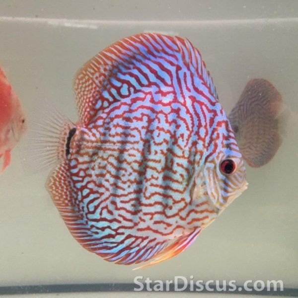 Discus Galaxy Turquoise