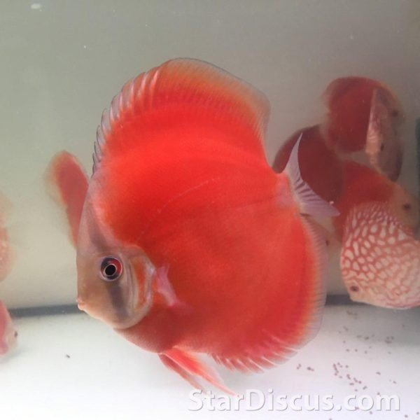 Discus Super Red Cover