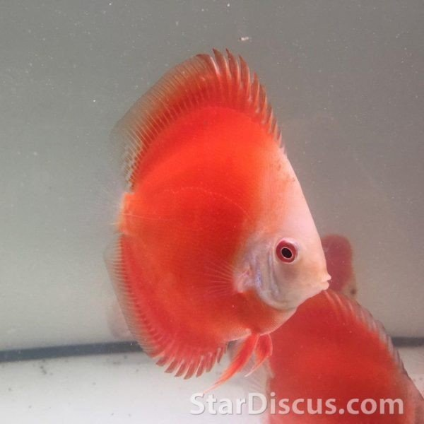 Discus Red Golden Diamond